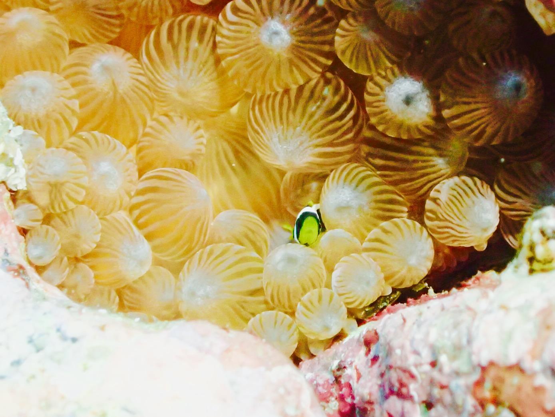 7月のダイビング「本土最南端、鹿児島・佐多のベビー&卵たち」